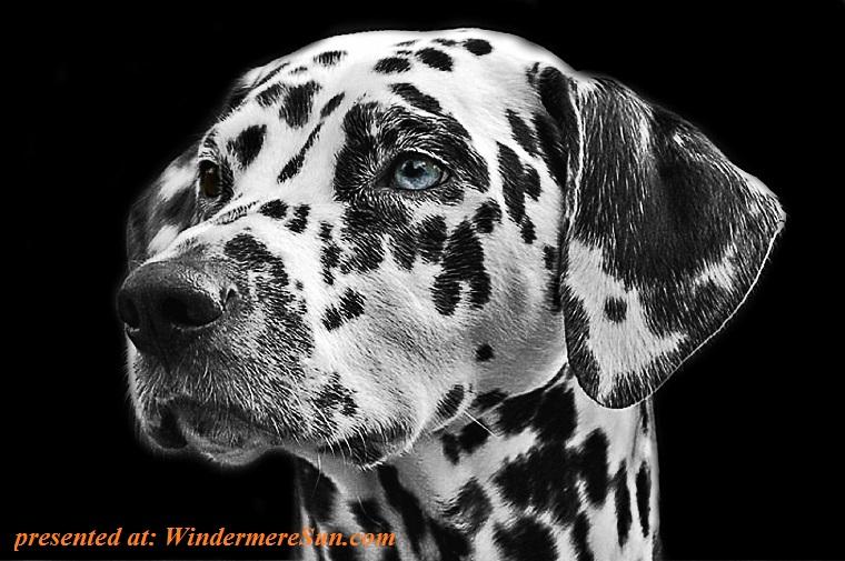 dalmatians-dog-animal-head final