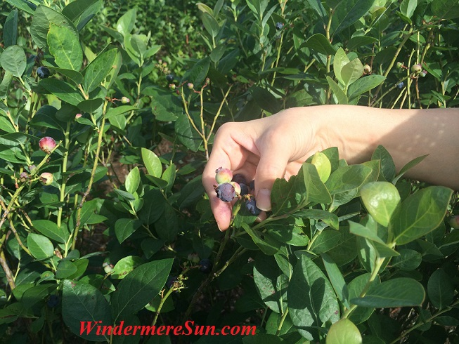 You Pick Blueberries at Beck Brothers Farm at 12500 Overstreet Rd., Windermere, FL 34786 (photographed by Windermere Sun-Susan Sun Nunamaker)