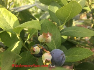 Blueberries (photographed by Windermere Sun-Susan Sun Nunamaker)