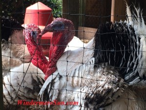 Turkeys at Farm Market of Lake Meadow Naturals in Ocoee, FL (photographed by Windermere Sun-Susan Sun Nunamaker)