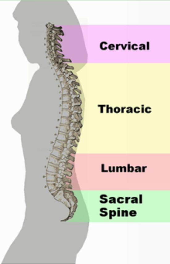 Spinal Column Curvature