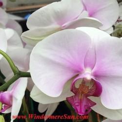 WinterGardenFarmer'sMarket-Orchids8 cropped 2final