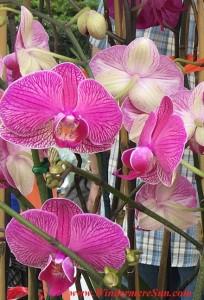 Orchids at Farmer's Market (credit: Windermere Sun-Susan Sun Nunamaker)