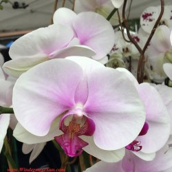 Orchids at Windermere & Winter Garden Farmer's Market (credit: Windermere Sun-Susan Sun Nunamaker)