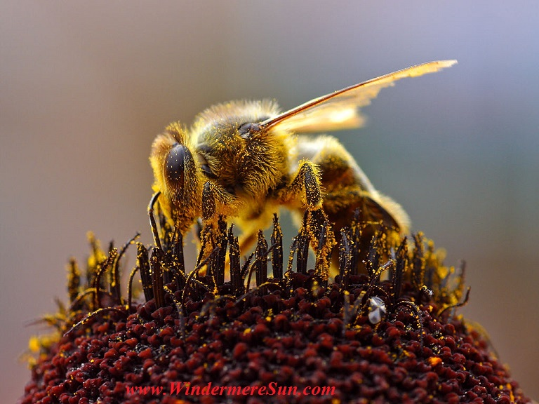 Bees_Collecting_Pollen Pub Do by Jon Sullivan final