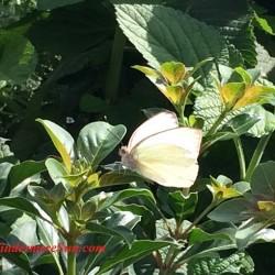 Epcot-butterfly closeup (credit: Windermere Sun-Susan Sun Nunamaker)
