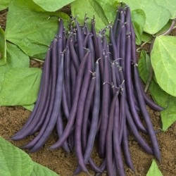 Purple bush beans (credit: farmfreshdirect2u.com)