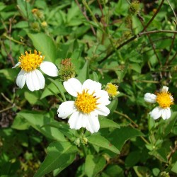 Shepherd's needles,Bidens alba var. radiata (flowers and leaves). Location- Midway Atoll, Old Fuel Farm Sand Island CC Author Forest and Kim Starr