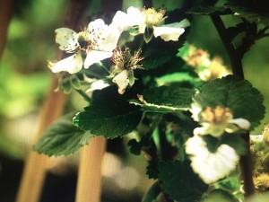 Blackberry flowers (credit: anaturalfarm.com)