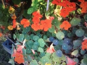 Edible plants (credit: anaturalfarm.com)