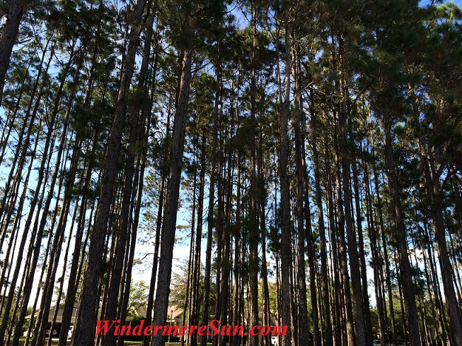Trees in forest in Central Florida (credit: Windermere Sun-Susan Sun Nunamaker)