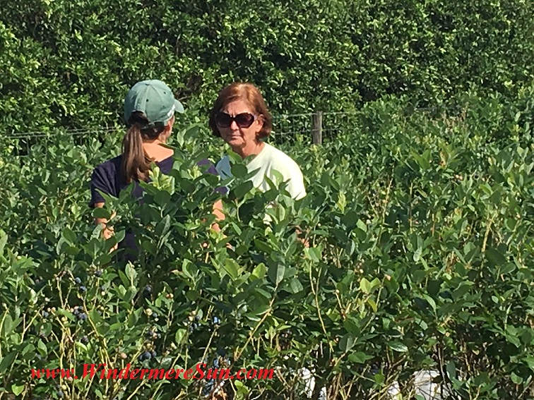 UPickBlueberries-blueberries pickers (credit: Windermere Sun-Susan Sun Nunamaker)