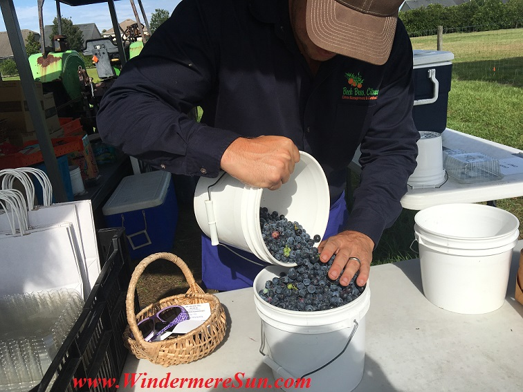 UPickBlueberries-blueberries 2 fill the bucket (credit: Windermere Sun-Susan Sun Nunamaker)