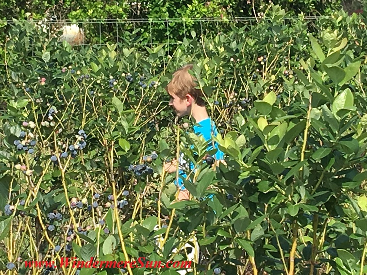 UPickBlueberries-blueberries boy in blue shirt (credit: Windermere Sun-Susan Sun Nunamaker)