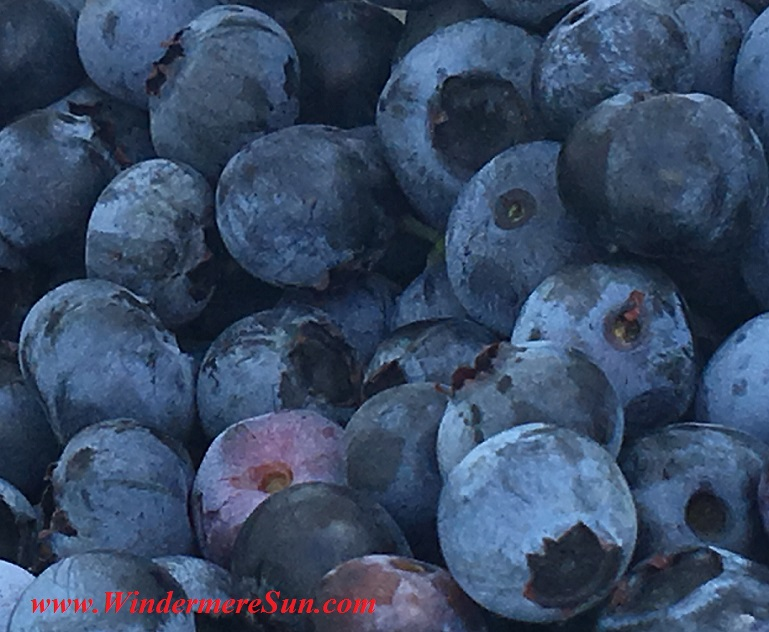 UPickBlueberries-delicious blueberries (credit: Windermere Sun-Susan Sun Nunamaker)