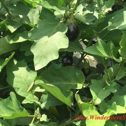 Eggplants of Bekemeyer Hydroponic Farm (1055 E. Story Road, Winter Garden, FL, 407-917-8068), photographed by Windermere Sun-Susan Sun Nunamaker