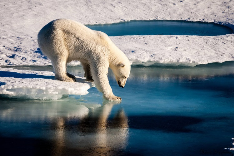 Polar Bear crosses Arctic Sea facing shorter sea ice season (credit: NASA)