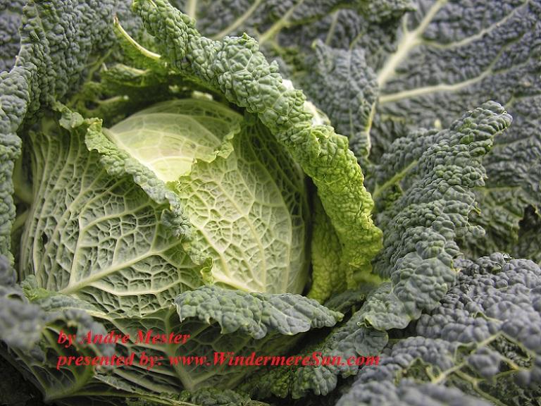 Cabbage (credit: Andre Mesker)