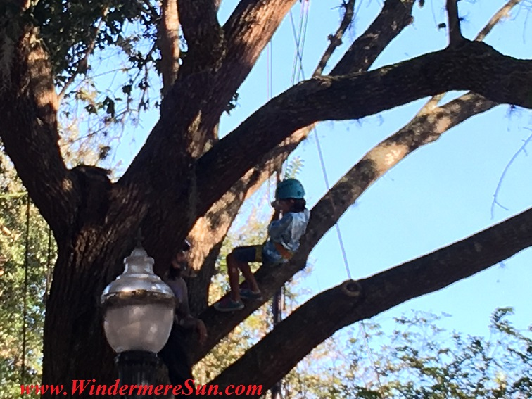 Tree Climber at Windermere Treebute of 2016 (credit: Windermere Sun-Susan Sun Nunamaker)